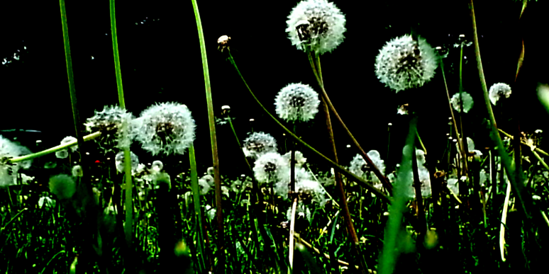 cropped-dandelions-2.png